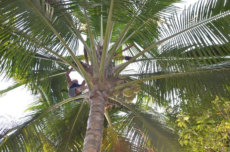 Täglich klettern die Männer auf die Kokospalmen. Hier ist in allen Lagen Handarbeit gefragt / © JANUR