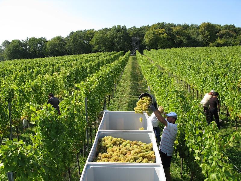 Traubenlese: Handarbeit ist gefragt, nur so gelangen die besten Trauben zur Verarbeitung / © Weingut Kollwentz