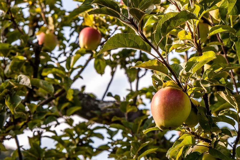 """""""Schweizer Glockenapfel"""": Alte Sorten wie derSchweizer Glockenapfelsind gut verträglich. Der Ursprung aller Apfelallergien liegt inder Kreuzung mit dem Delicius. Es ist besonders bekannt für seine gute Lagerfähigkeit. Fatal, dass diese gute Eigenschaft auch allen anderen Sorten anerzogen werden sollte. Das hat zur Folge, dass es imSupermarkt für Allergiker kaum noch verträgliche Äpfel gibt"""