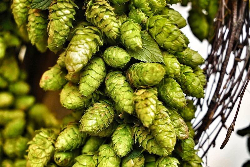 Hopfen, lat. als Humulus lupulus bekannt, finden bei Bierbrauen Verwendung, die noch mit echten Hopfen arbeiten