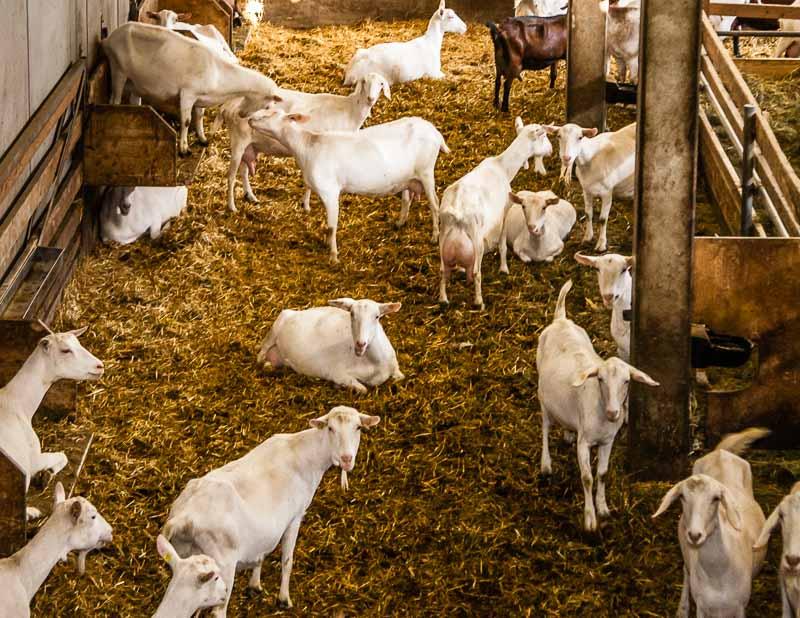 Schluss mit dem Gezicke! Unter Ziegen finden jeden Tag Rangordnungskämpfe statt. Erhöhte Boxen bringen etwas Ruhe in die Ziegen Population