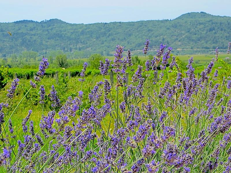 Der Duft ist betörend - das. Lavendel, strahlend schön ist überall im idyllischen Hinterland von Dubrovnik zu finden / © Redaktion Lustfaktor, Bild Lisa Schmalz