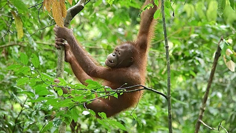Ob jung oder alt, im Rehazentrum geht es allen Orang Utans gut