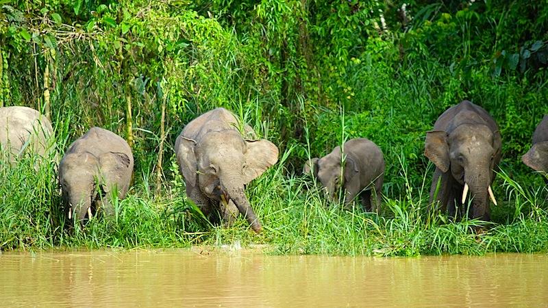 In Borneo ebenfalls anzutreffen, die bekannten Zwergelefanten
