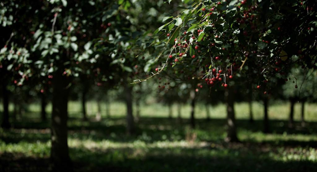 Ein malerisches Ensemble von Kirschbäumen ertreckt sich auf über 40 Hektarn