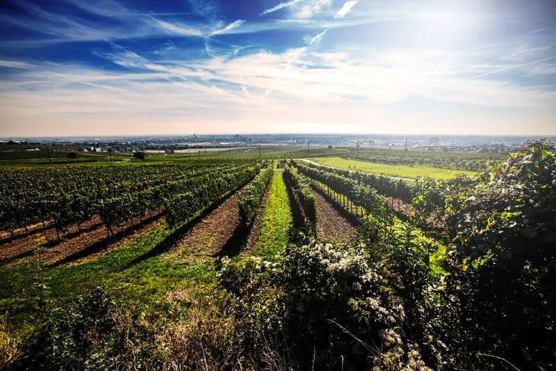 Auf 2.500 Hektar Rebfläche gedeihen Gewächse wie St. Laurent und Rotgipfler, Pinot Noir und Zierfandler