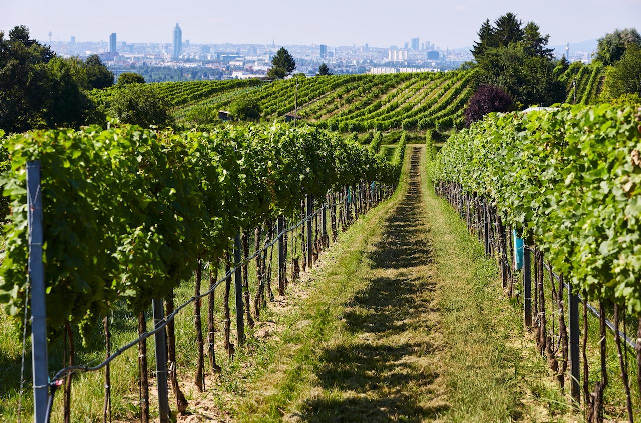 """Auf dem Bisamberg gedeihen die Trauben für den Wiener Gemischten Satz des Weinguts Wieninger. Hier im Bild die Weinlage """"Wiesthalen"""" am Bisamberg"""