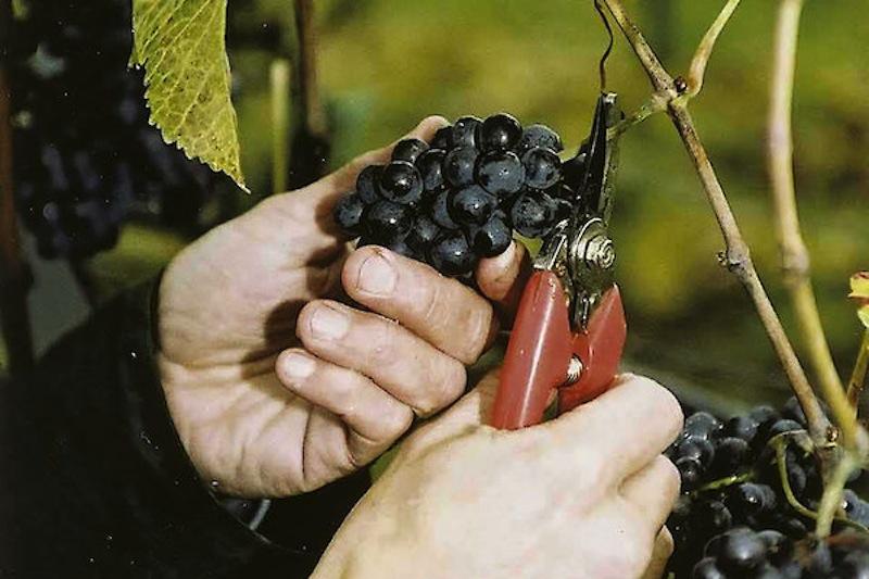 Weinbau ist übers ganze Jahr echte Handarbeit. Bei der Lese werden die pinot Noir Trauben manuell selektiert