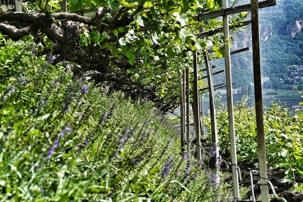 Ein Weinberg ist schon ein kleiner Mikrokosmos. Hier im Weingarten von Rudi Endrizzi wimmelt es von Insekten zwischen den Gräsern und Kräutern