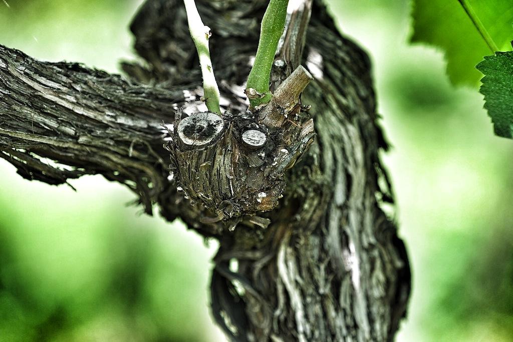 Schönheit im Alter. Die Reben auf dem ältesten Weißburgunder Weinberg wurden 1899 gepflanzt. Ein renomiertes Innsbrucker Institut bestätigte das methusale Alter