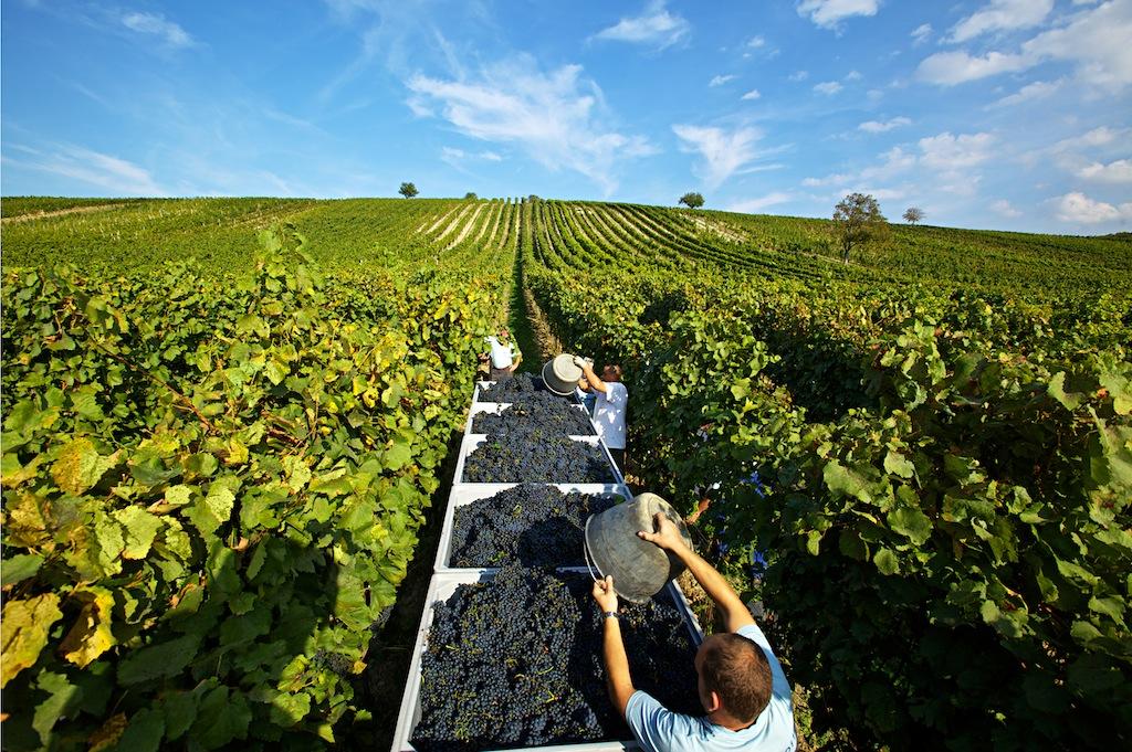 Das Weingut von Gesellmann umfasst 40 Hektar