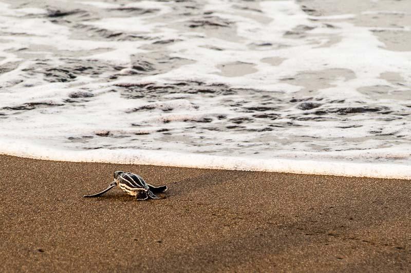Bald geschafft! Schlüpfling auf den letzten Zentimetern des Strandes. Aber nicht nur an Land lauern Gefahren. Auch im Wasser warten schon Fressfeinde auf die jungen Schildkröten / © FrontRowSociety.net, Foto: Georg Berg
