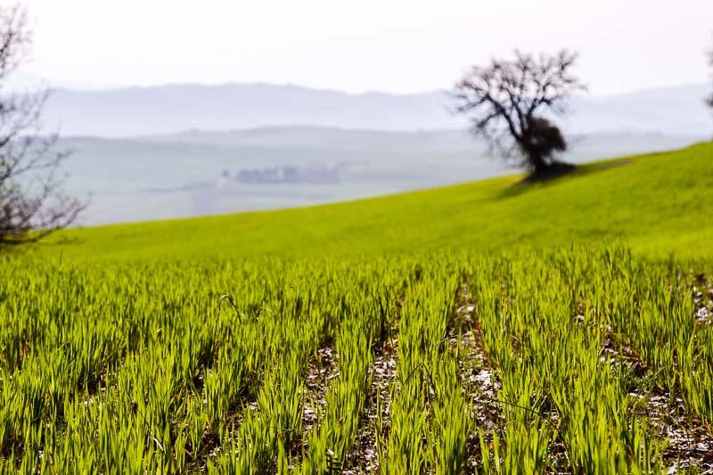 Das Grün der jungen Hartweizenpflanzen dominiert im April die Landschaft im Val d'Orcia / © FrontRowSociety.net, Foto: Georg Berg