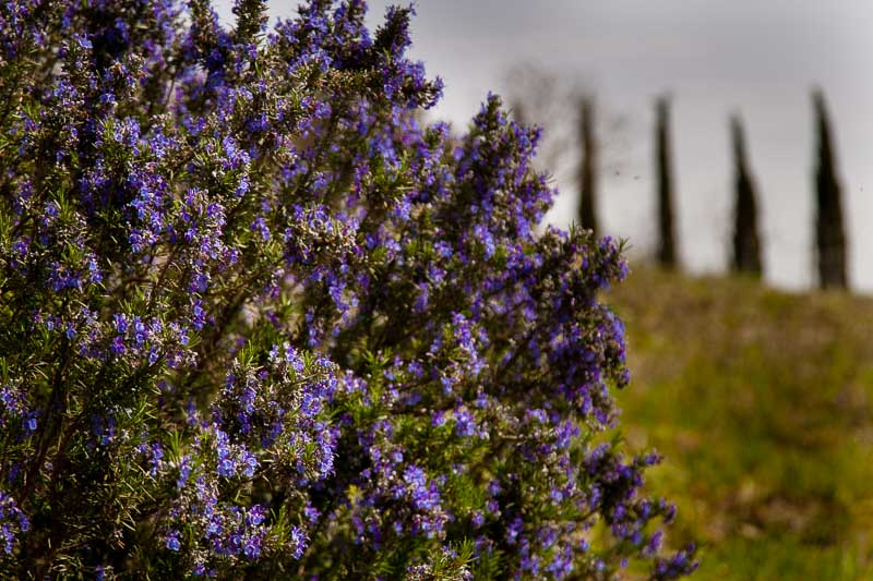 Etwas einfacher zu sichten als wilder Spargel, aber am heutigen Tag nicht gefragt: blühende Rosmarinbüsche säumen den Weg / © FrontRowSociety.net, Foto: Georg Berg