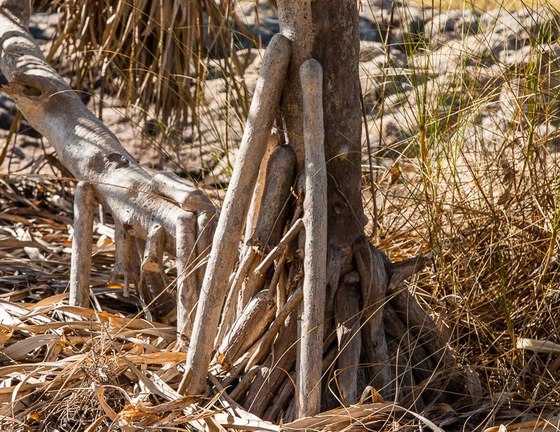 Mit den Luftwurzeln einer Schraubenpalme können die Aborigines viel anfangen / © FrontRowSociety.net, Foto: Georg Berg