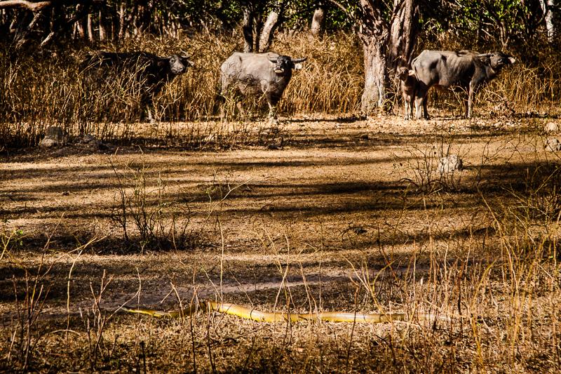 Durch das Gras vor den Büffeln schlängelt sich eine Olivepython. Diese Schlangen sind ungiftig und können bis zu vier Metern lang werden / © FrontRowSociety.net, Foto: Georg Berg