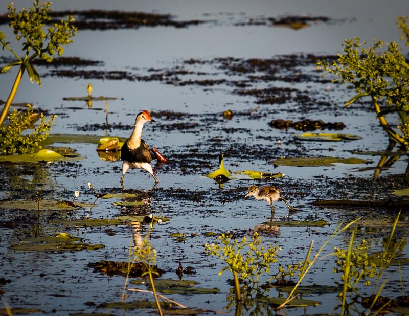 Der Jesusvogel kann über das Wasser laufen. Sein Trick: Mit extrem langen Zehen kann er auf den Pflanzen an der Wasseroberfläche stehen / © FrontRowSociety.net, Foto: Georg Berg