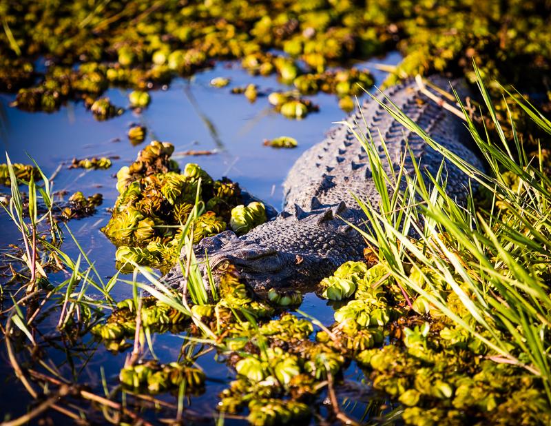 Trotz Tarnung nicht vollständig versteckt: Ein großes Salzwasserkrokodil / © FrontRowSociety.net, Foto: Georg Berg
