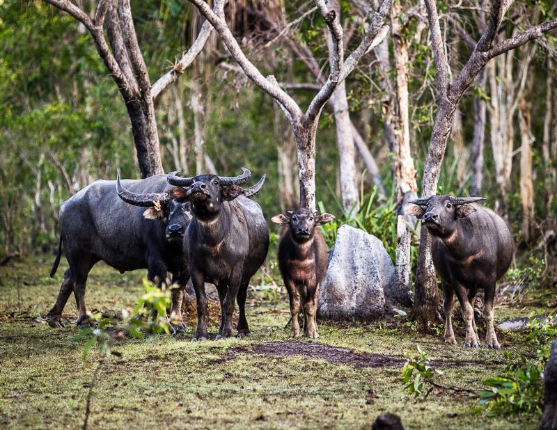 Abwehrbereite Wasserbüffelfamilie / © FrontRowSociety.net, Foto: Georg Berg
