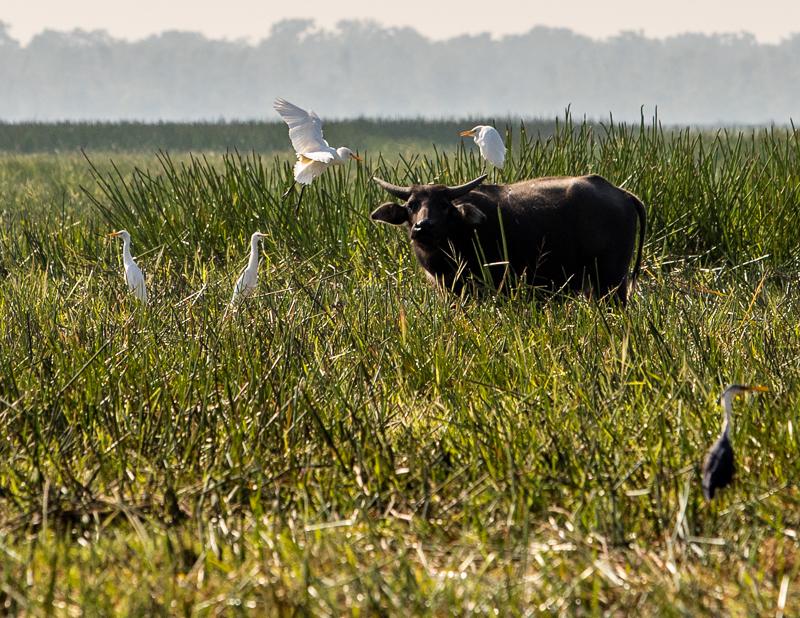 Wasserbüffel sind schon von weitem an den auf ihnen sitzenden Kuhreihern zu erkennen / © FrontRowSociety.net, Foto: Georg Berg
