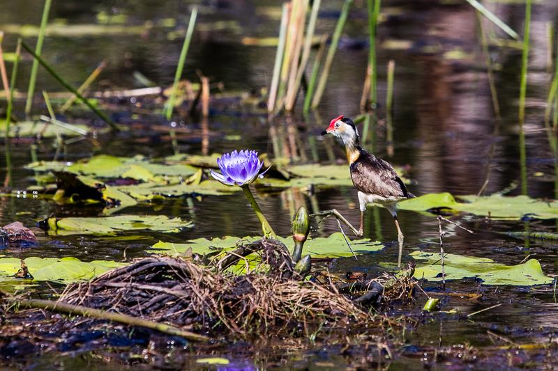 Das australische Blatthühnchen wird auch Jesusvogel oder Lotusbird genannt, weil es durch seine langen Hinterzehen leicht auf Wasserpflanzen laufen kann / © FrontRowSociety.net, Foto: Georg Berg