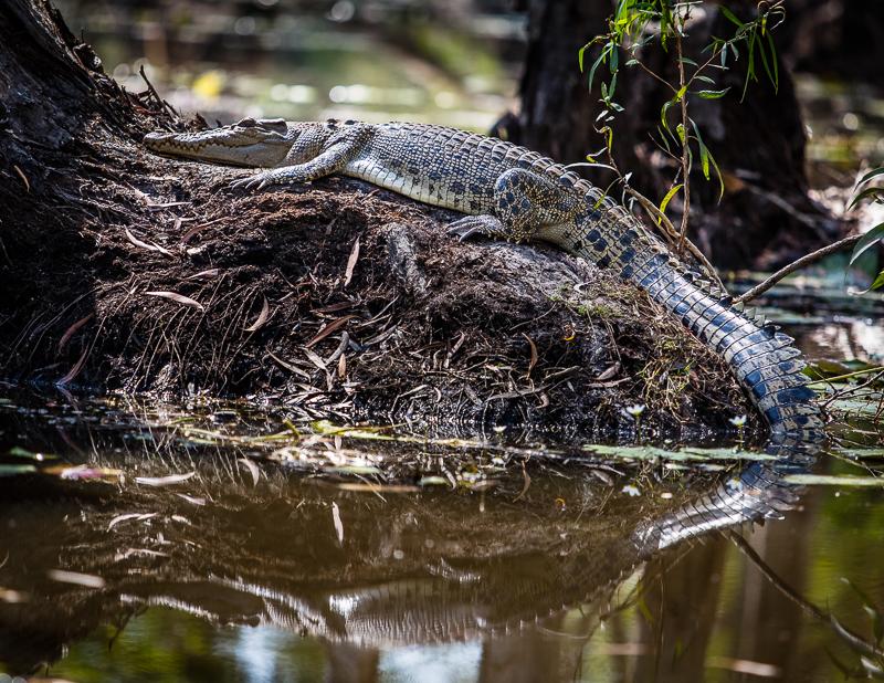 Der Frieden täuscht. Denn auch wenn man sie nicht sofort erkennt; Salzwasserkrokodile können blitzschnell attackieren / © FrontRowSociety.net, Foto: Georg Berg