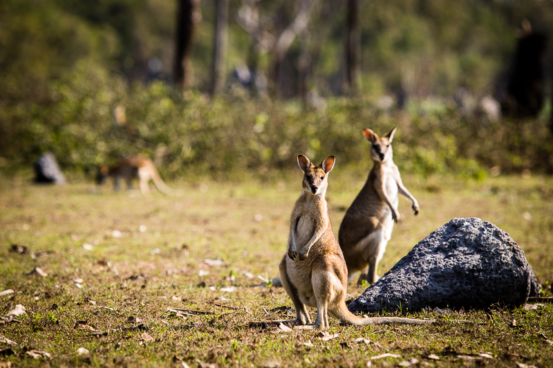 Die Wappentiere Australiens - Neugierg aber in ihrer Aggressivität sind Kängurus nicht zu unterschätzen / © FrontRowSociety.net, Foto: Georg Berg