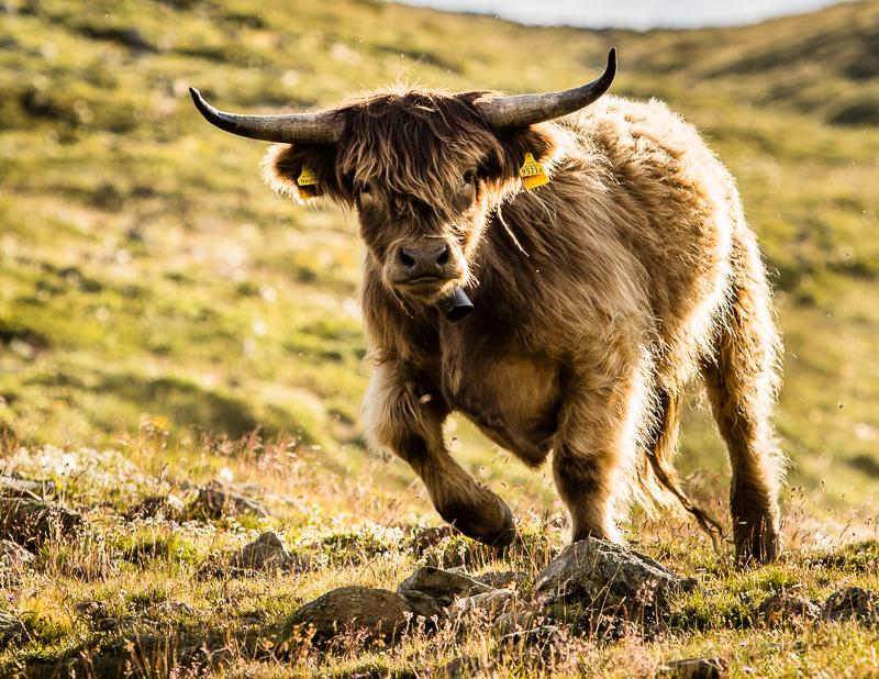 Der Bulle staunt nicht schlecht. Was die Menschen auf seiner Alp so alles anstellen / © FrontRowSociety.net, Foto: Georg Berg