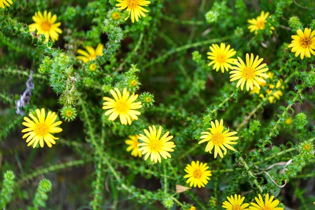 Fynbos - diese endemische Pflanze zieht sich wie ein Gürtel um das Kap. Die Artenvielfalt scheint unerschöpflich
