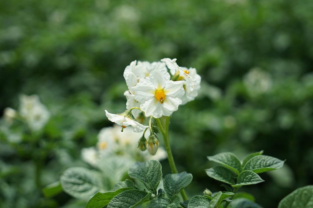 Die Knolle ist so umfangreich in Gerichten einsetztbar - vor Jahrhunderten haben die Menschen geglaubt, dass man die Blüten und Beeren genießen kann, die über der Erde wachsen