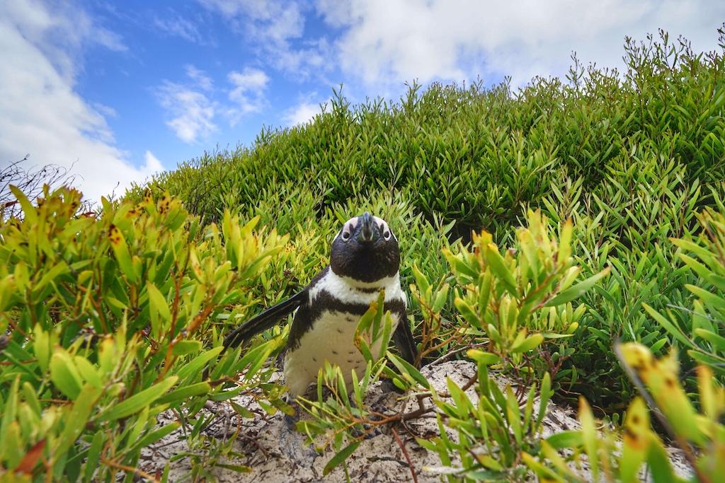 Im Vorbeifahren bleibt der sich versteckende Pinguin sonst unentdeckt