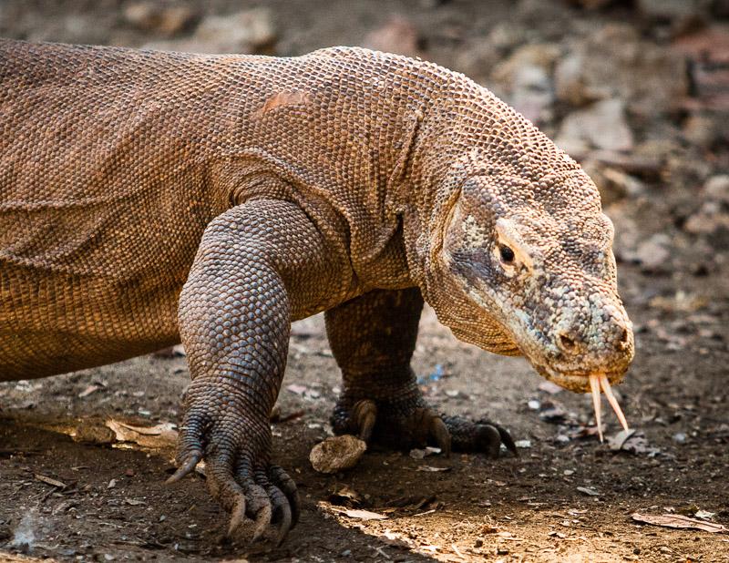 Der giftige Komodowaran kann bis zu zwei Meter lang werden / © FrontRowSociety.net, Foto: Georg Berg