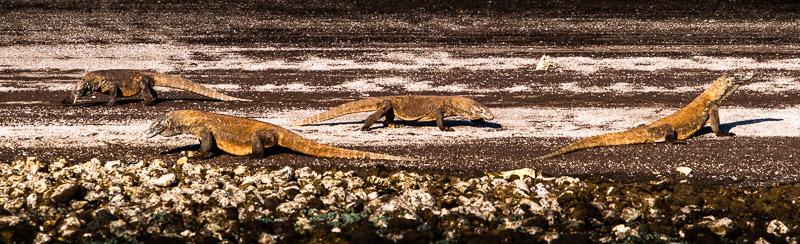 Komodowarane gehören zwar zu den gefährdeten Tierarten. An den Ständen der Komodo-Inseln sind sie jedoch oft in Gruppen anzutreffen / © FrontRowSociety.net, Foto: Georg Berg