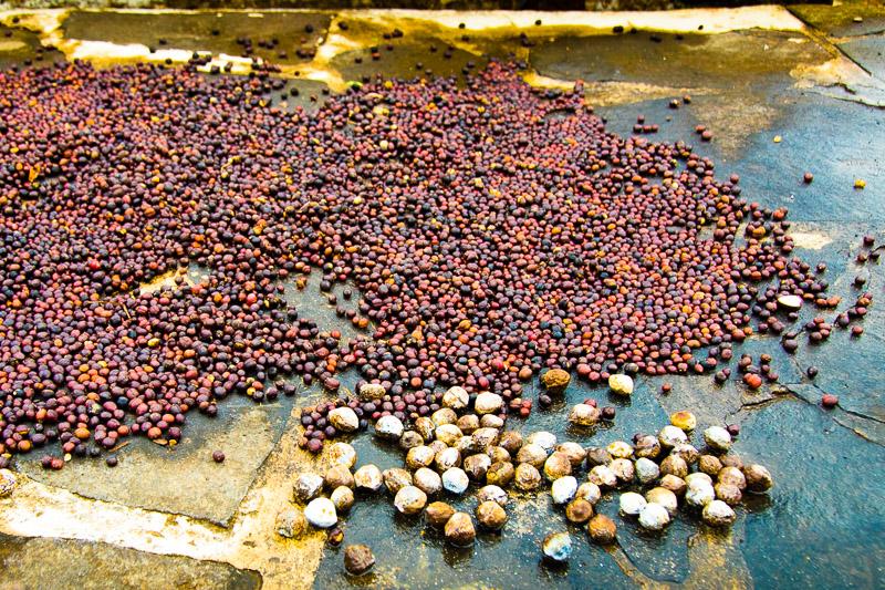 Erntefrisch trocknet der Kaffee in Indonesien. Bei der Einfuhr nach Australien muss er deklariert werden / © FrontRowSociety.net, Foto: Georg Berg