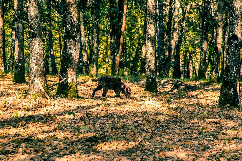 Man sieht den Hund vor lauter Bäumen nicht. Trüffelspürhund Elfe auf Suche / © FrontRowSociety.net, Foto: Georg Berg