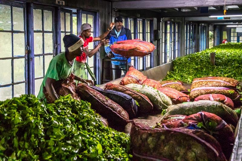 Die frischen Teeblätter müssen 24 Stunden lang an der Luft welken / © FrontRowSociety.net, Foto: Georg Berg