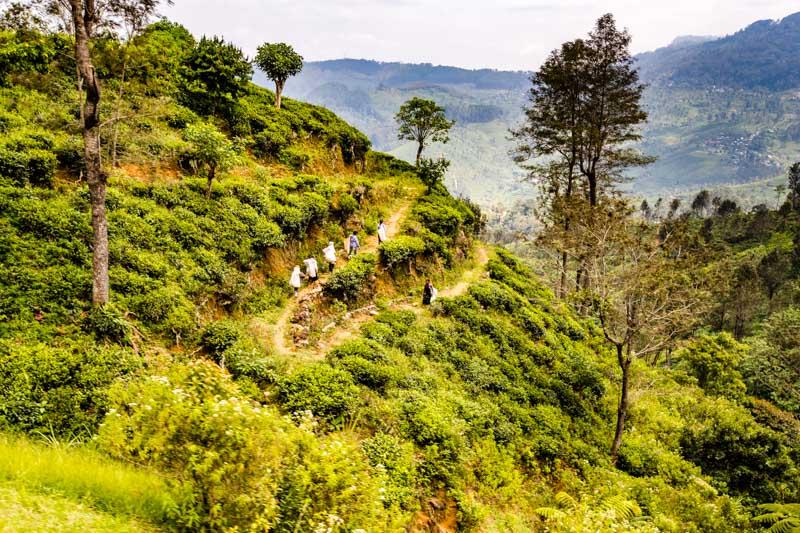 Im Hochland Sri Lankas sind die besten Teeplantagen von der Eisenbahntrasse aus zu sehen / © FrontRowSociety.net, Foto: Georg Berg