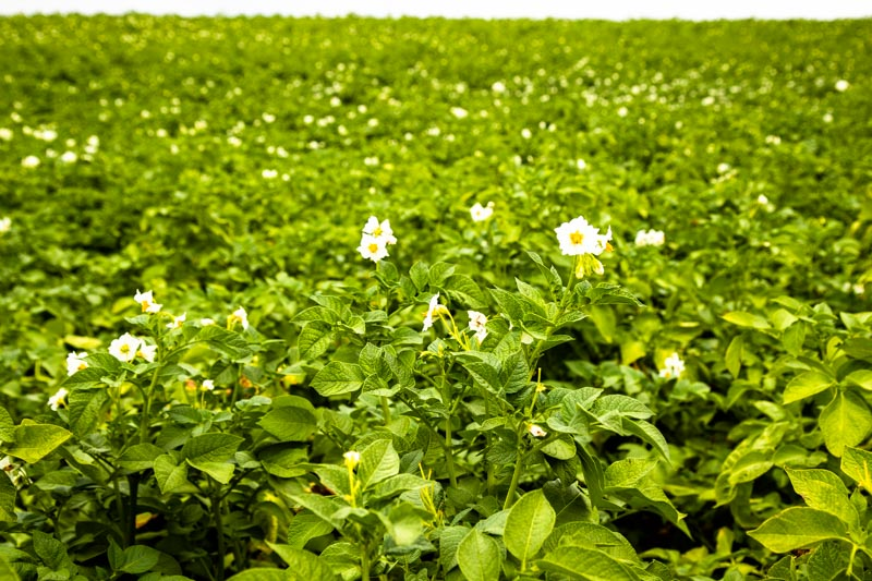 Zartes Pflänzchen mit hübscher weißer Blüte. Die Frühkartoffel braucht gut 90 Tage bis zur Reife / © FrontRowSociety.net, Foto: Georg Berg