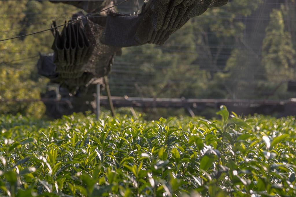 Noch sind die Schatten-Netze geschlossen und hängen wie ein großer schwarzer Drache der Augsburger Puppenkiste über den Feldern der Teefarm Sansuien / © FrontRowSociety.net, Foto: Georg Berg