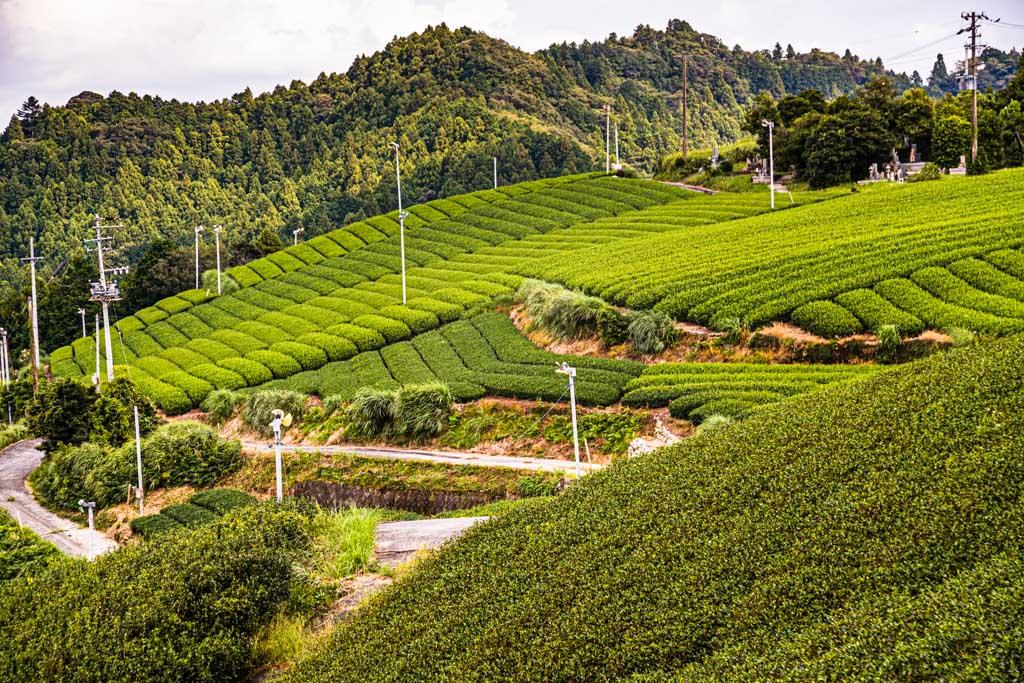 Teefelder in der japanischen Präfektur Shizuoka / © FrontRowSociety.net, Foto: Georg Berg