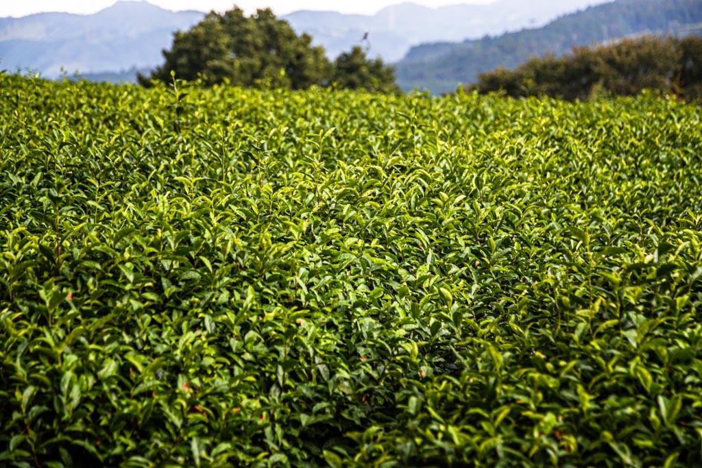 Grüner Tee in der japanischen Präfektur Shizuoka / © FrontRowSociety.net, Foto: Georg Berg
