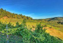 Blick in die Weinberge rund um Durbach an der Badischen Weinstraße