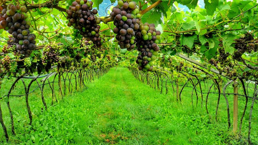 Eine strenge Ausdünnung und gezielte Auswahl während der Ernte wirkt sich auf die Qualität aus