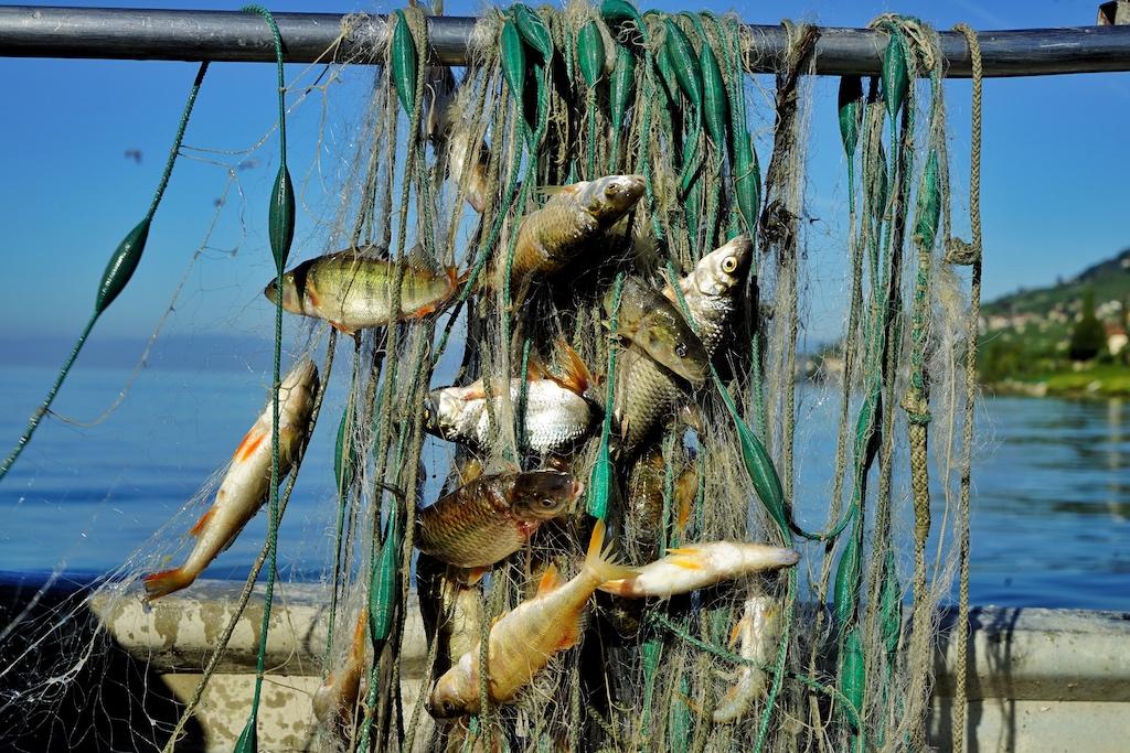 Der Lohn fürs frühe Aufstehen; am Vormittag hängen die ersten Fische im Netz
