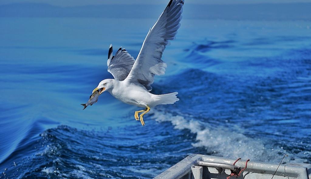 Möven sind auch bewusste Verköstiger, sie wissen, wo es frischen Fisch gibt
