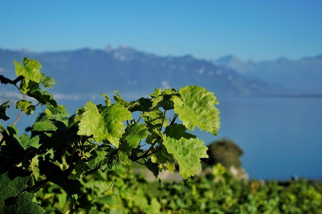 12 Rebsorten machen den Löwenanteil bei den auf der Welt produzierten und getrunkenen Weinen aus