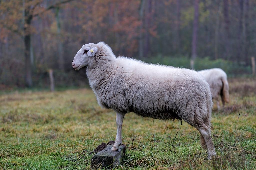 Lammfleisch aus der Region ist gesund, leider steht das Fleisch nicht im Vordergrund wie beim Schwein oder Rind. Die Vermarktung gestaltet sich daher nicht gerade einfach