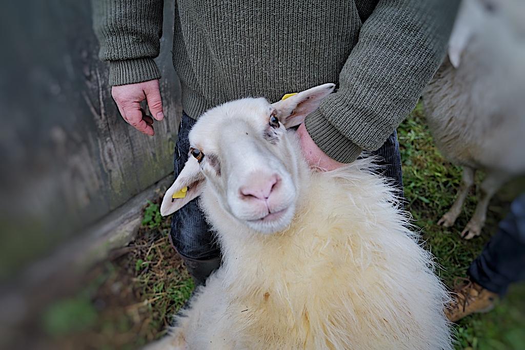Die Schafe fühlen sich bei Markus Lanfer sichtlich wohl