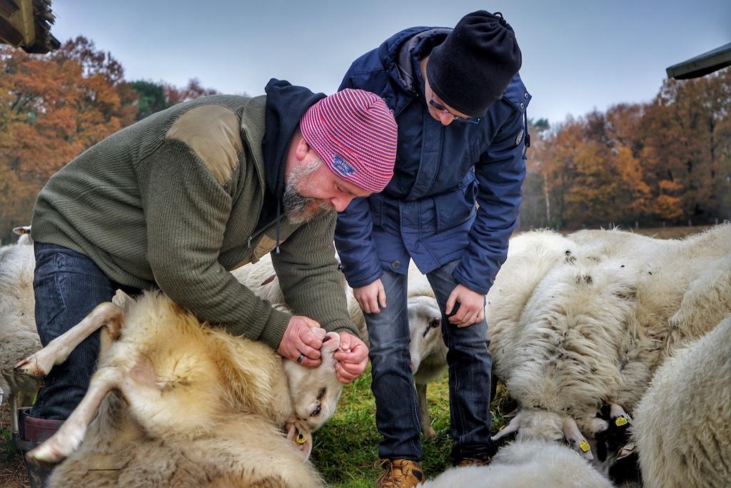 Schafzucht benötigt viel Zeit: Züchter wie Markus Lanfer geben dafür nahezu ihre gesamte Freizeit
