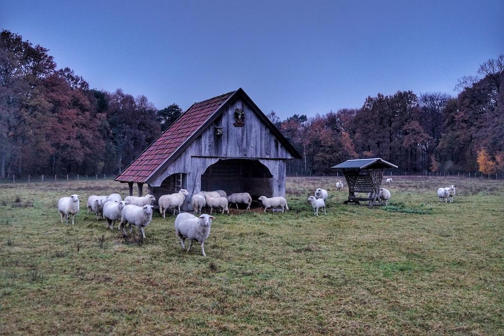 Die Schafe haben freien Auslauf, ob Sommer oder Winter